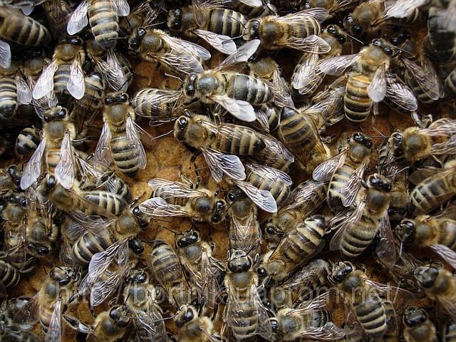 Рой серых горных кавказских пчёл   27.12.13