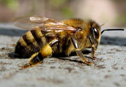 Серая горная кавказская пчела    27.12.13